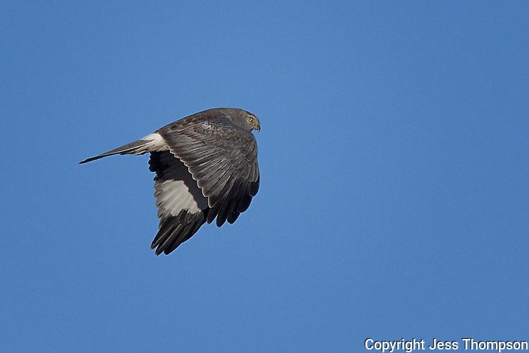 Northern Harrier Hawk, Male, Texas roadside near Fort Stockton