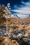 Bell Rock from Bail Trail, near Sedona (Infrared).  One of our more iconic red rock formations is framed here by one of our more iconic blooming plants: the agave, commonly known as a century plant.  These large flower stalks pop up in June in our high desert terrain and can be seen along many of the local hiking trails in the Coconino National Forest.  And if you happen to have infrared eyes, they really stand out.<br /> <br /> Image ©2020 James D. Peterson