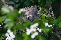 Mönchsgrasmücke, Nest in Weißdorn, Weissdorn, Napfnest, Gelege, Ei, Eier, Mönchs-Grasmücke, Sylvia atricapilla, Blackcap, Fauvette à tête noire