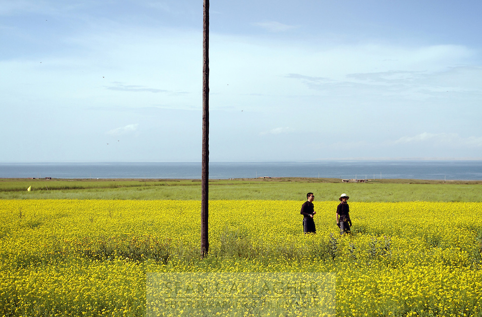 Tourists walking through a rape-seed field near to Qinghai Lake. Qinghai Lake is China's largest inland body of water, lying at over 3000m on the Qinghai-Tibetan Plateau. The lake has been shrinking in recent decades, as a result of increased water-usage for local agriculture. Qinghai Province. China. 2010