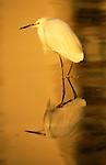 Snowy egret wades in water at the Ding Darling National Wildlife Refuge.