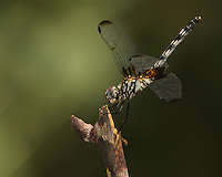 The Checkered Setwing (Dythemis fugax) is checkered with black and white.