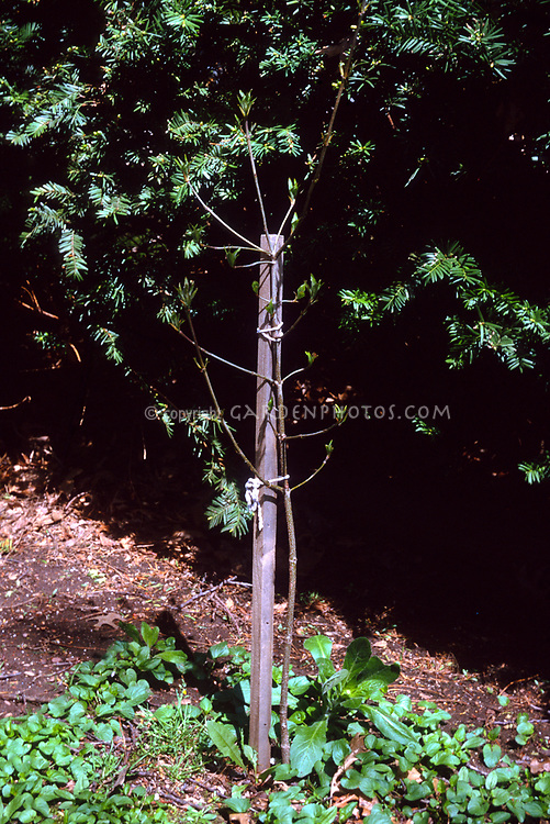 Young tree staked too tightly, garden problem, incorrect staking of sapling, wrong way doesn't allow movement