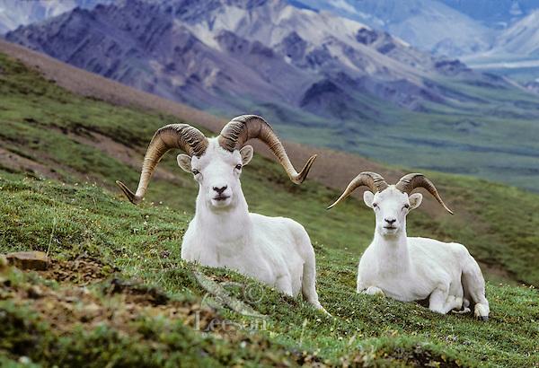 Thinhorn Sheep or Dall sheep rams (Ovis dalli), Alaska.  Late Summer.