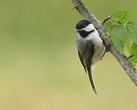 The chickadee's black cap and bib; white cheeks; gray back, wings, and tail; and whitish underside with buffy sides are distinctive.