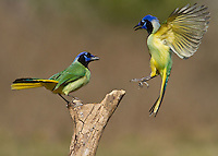 Green Jay (Cyanocorax yncas), adults, Starr County, Rio Grande Valley, South Texas, USA