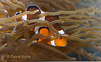 0321-1110  False Percula Clownfish (Ocellaris Clownfish), Amphiprion ocellaris, with Bulb-tipped Anemone, Entacmaea quadricolor  © David Kuhn/Dwight Kuhn Photography