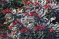 Euphorbia 'Ruby Glow' aka 'Raven'