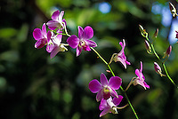 An elegant close-up of a strand of purple dendrobium orchids with a muted background of green foliage.