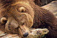 Grizzly Bear sleeping on drift logs or beach log along Alaskan coast.