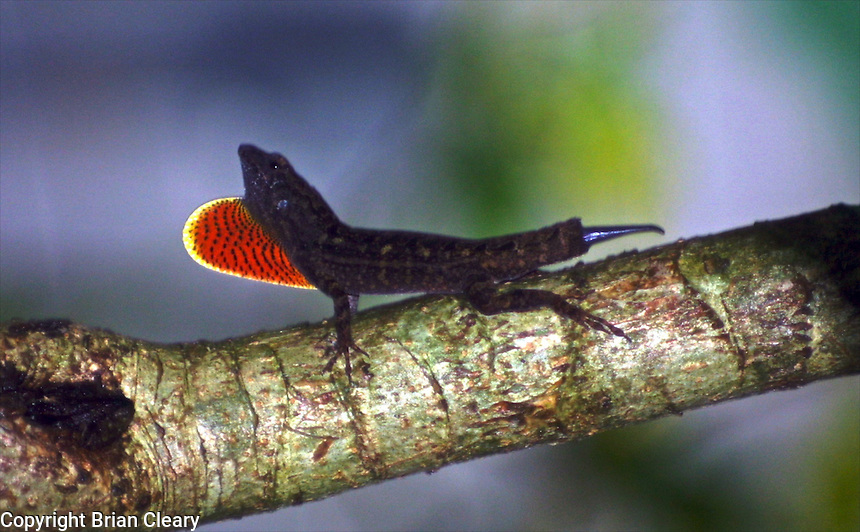 A brown anole extends its dewlap, Daytona Beach, FL . (Photo by Brian Cleary / www.bcpix.com)