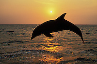 Common Bottlenose Dolphin or Bottle-nosed dolphin (Tursiops truncatus) off the west coast of Hondurus.  Sunset.