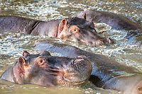 Several Common hippopotamus (Hippopotamus amphibius) bathe in the muddy water at Maasai Mara National Park, Kenya, Africa