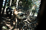 September 13, 2007, Louisburg, NC..Hogs forage in the woods for acorns and other natural vegetation. The hogs eat large amounts natural growth that is spread throughout their large pens.