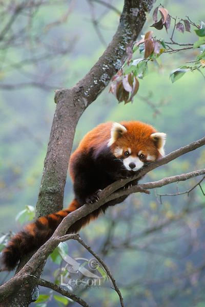 Red panda  or lesser panda (Ailurus fulgens), Wolong Nature Reserve, China.
