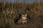 Black-footed Cat (Felis nigripes) male emerging from den at dusk, Benfontein Nature Reserve, South Africa