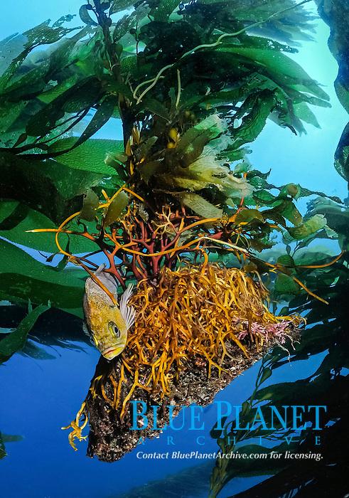 kelp rockfish, Sebastes atrovirens, perched on floating holdfast of giant kelp, Macrocystis pyrifera, Anacapa Island, Channel Islands, Channel Islands National Park, California, USA, Pacific Ocean