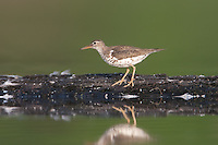 Spotted Sandpiper (Actitis macularius), East Pond, Jamaica Bay Wildlife Refuge