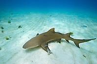 Lemon Shark, Negaprion brevirostris, with Sharksuckers, Echeneis naucrates, West End, Grand Bahama, Atlantic Ocean