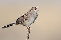 Singing adult Cassin's Sparrow (Aimophila cassinii). Cimarron National Grassland, Kansas. April.
