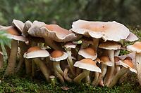 Rauchblättriger Schwefelkopf, Graublättriger Schwefelkopf, Milder Schwefelkopf, Hypholoma capnoides, Nematoloma capnoides, Conifer Tuft, Conifer Tuft mushroom, Hypholome à lames enfumées
