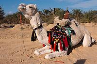 Reitkamel, Festival in Douz, Tunesien