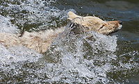 A coyote swims across the Yellowstone River.