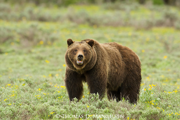 Grizzly 399 stands in a green meadow in Grand Teton National Park, Wyoming.
