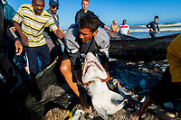 man rescues ragged tooth shark or sand tiger shark, Carcharias taurus, from seine nets to be released, False Bay, Cape Town, South Africa