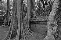 Siam Reap, Cambodia,Tree Roots taken over the temple,Black and White