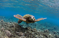A green sea turtle swims off the coast of Maui.