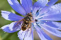 Gemeine Goldschwebfliege, Goldschwebfliege, Gold-Schwebfliege, Männchen, Blütenbesuch an Wegwarte, Ferdinandea cuprea, Sap-run Hoverfly, male