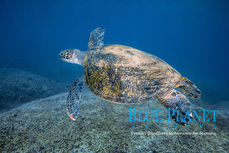green sea turtle, Chelonia mydas, Chichi-jima, Bonin Islands, Ogasawara Islands, UNESCO World Heritage Site,  Tokyo, Japan, Pacific Ocean