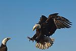 A bald eagle landing near another in Homer, Alaska.
