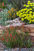 Penstemon pinnifolius flowering by stone wall and Eriogonum umbellatum polyanthum 'Shasta Sulfur' in David Salman New Mexico xeric rock garden