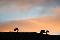 Morning sky with heifers...Copyright..John Eveson, Dinkling Green Farm, Whitewell, Clitheroe, Lancashire. BB7 3BN.01995 61280. 07973 482705.j.r.eveson@btinternet.com.www.johneveson.com