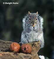 MA23-024z  Gray Squirrel - eating in winter - Sciurus carolinensis