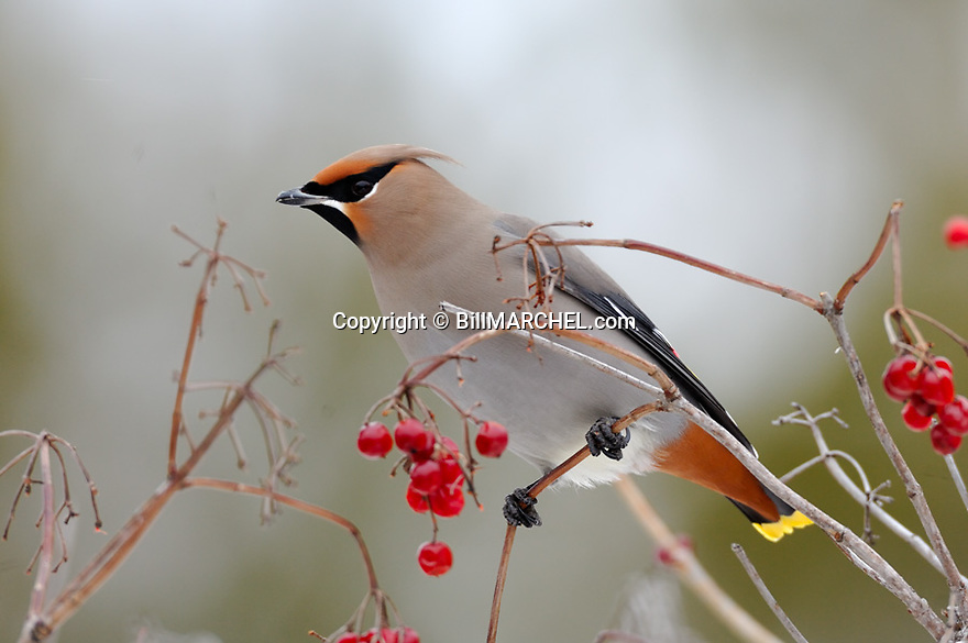 00110-009.04 Bohemian Waxwing (DIGITAL) pauses while feeding on high bush cranberries.  Color, red, habitat.  H5L1