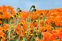 California poppies (Eschscholtzia californica)  and fiddleneck close up. Antelope Valley Poppy Preserve. California