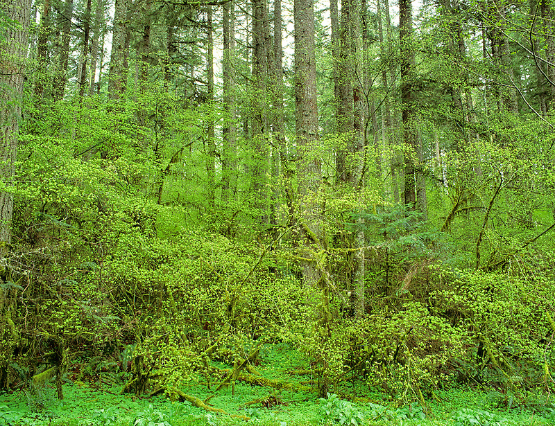 Spring woods. Silver Falls State Park, Oregon.