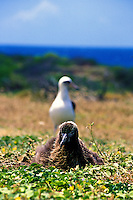 Two Laysan albatross (diomedea immutabilis) at Kaena point bird sanctuary on Oahu