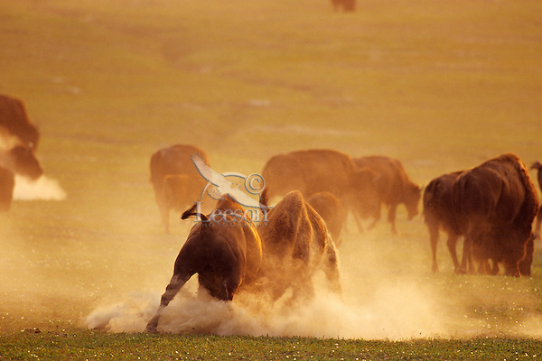 Bull Bison (Bison bison) fighting-sparring in cloud of dust during summer rut, Theodore Roosevelt National Park, North Dakota.