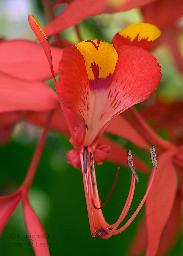 "Full Blossom Flower of the ""Pride of Burma"" Tree."