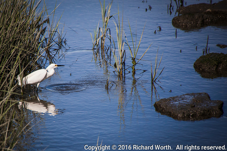 A Snowy egret leaves a splash and concentric circles growing from where it stabbed at the water searching for food at Martin Luther King Jr. Regional Shoreline.