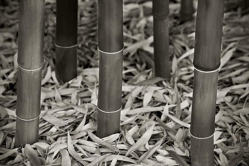 Bamboo close up. Hughes Water Gardens, Oregon