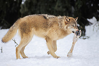gray wolf, Canis lupus, feeding on a moose, Alces alces, leg in the foothills of the Takshanuk mountains, northern southeast, Alaska, USA