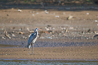 Great blue heron, Ardea herodias, on the shore of the Tarcoles River, Costa Rica