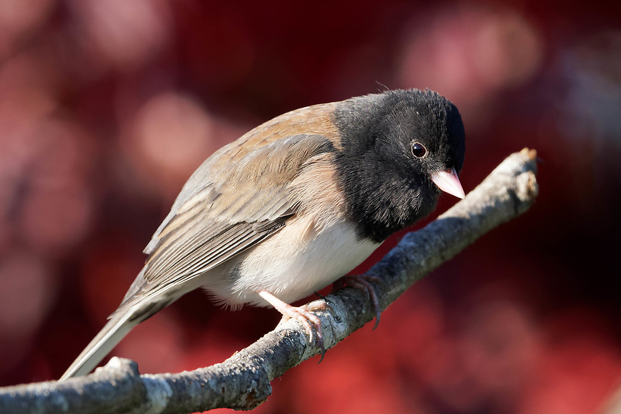 Male dark-eyed Junco (Junco hyemalis) perched on branch, autumn colors in background, Snohomish, Washington, USA