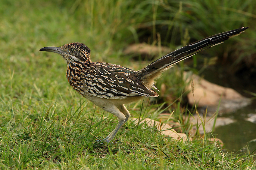 """The Roadrunner is the most fictionalized bird in popular imagination. Cowboys used to tell tall tales about how Roadrunners would seek out rattlesnakes to pick fights, or would find sleeping rattlers and build fences of cactus joints around them. A later generation of Americans grew up thinking that Roadrunners were purple and cried """"beep beep"""" as they sped about."""