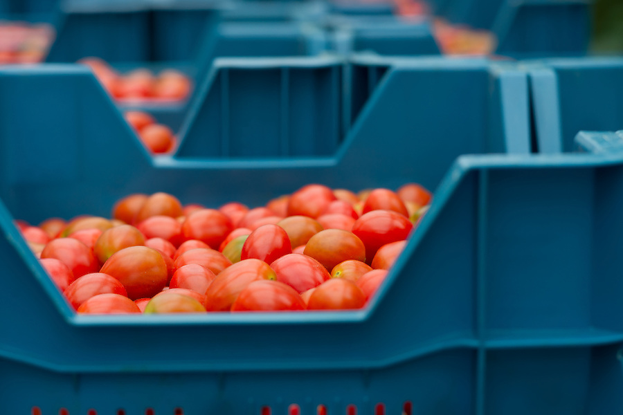 cherry tomatoes in a crate ready to be shipped